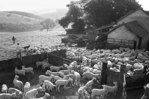 Bringing in the sick lamb by James Ravilious