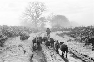 Irwin Piper taking his sheep for slaughter by James Ravilious