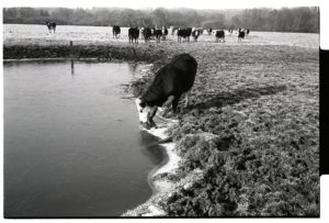 Bullock drinking from icy pond by James Ravilious