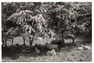 Sheep lying under May bushes on a hot day by James Ravilious