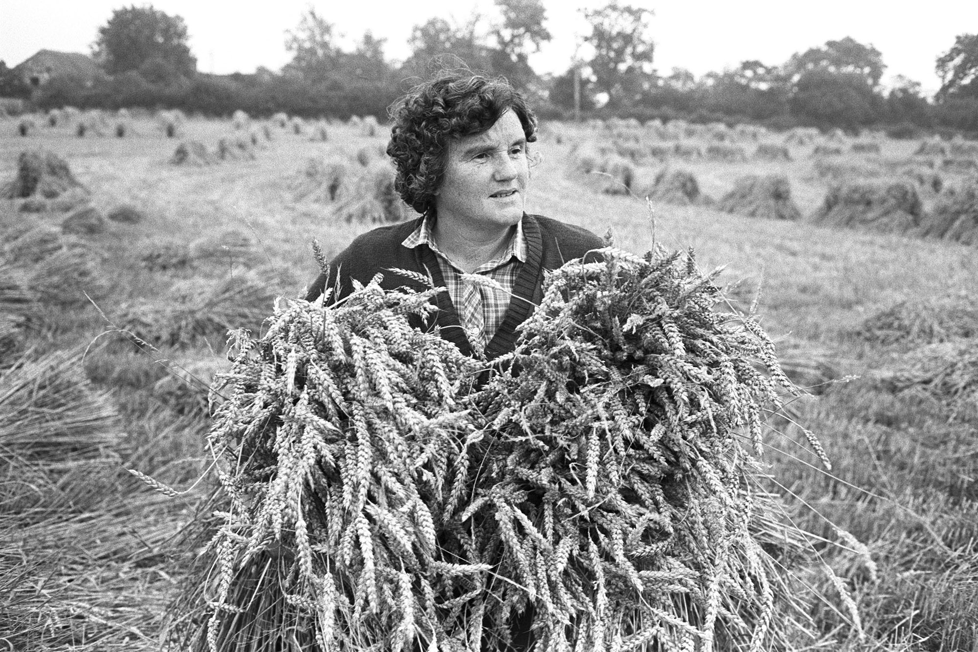 Farmers, woman holding sheaf of corn, setting up stooks. <br /> [Eileen Squire holding sheaves of corn to set up as stooks in a field at Chapple, Dolton. Other stooks are visible in the background.]