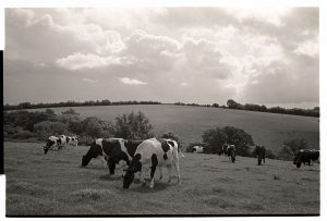 Grazing cows by James Ravilious