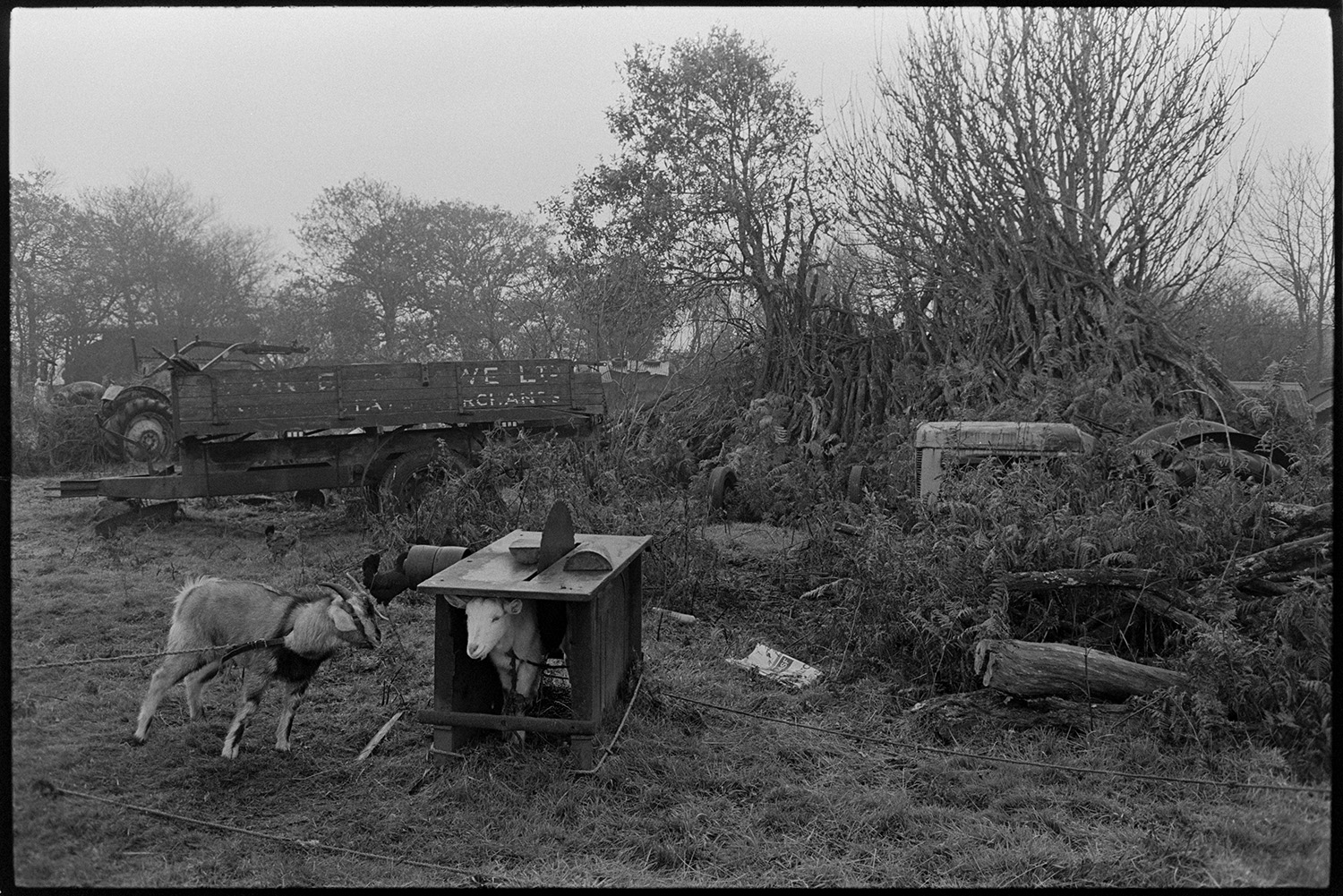 Cows, goats, geese at farm. <br /> [Two goats tethered in a field at Cuppers Piece, Beaford. One of them is under a bench with a circular saw. Two tractors and a trailer can be seen in the background.]