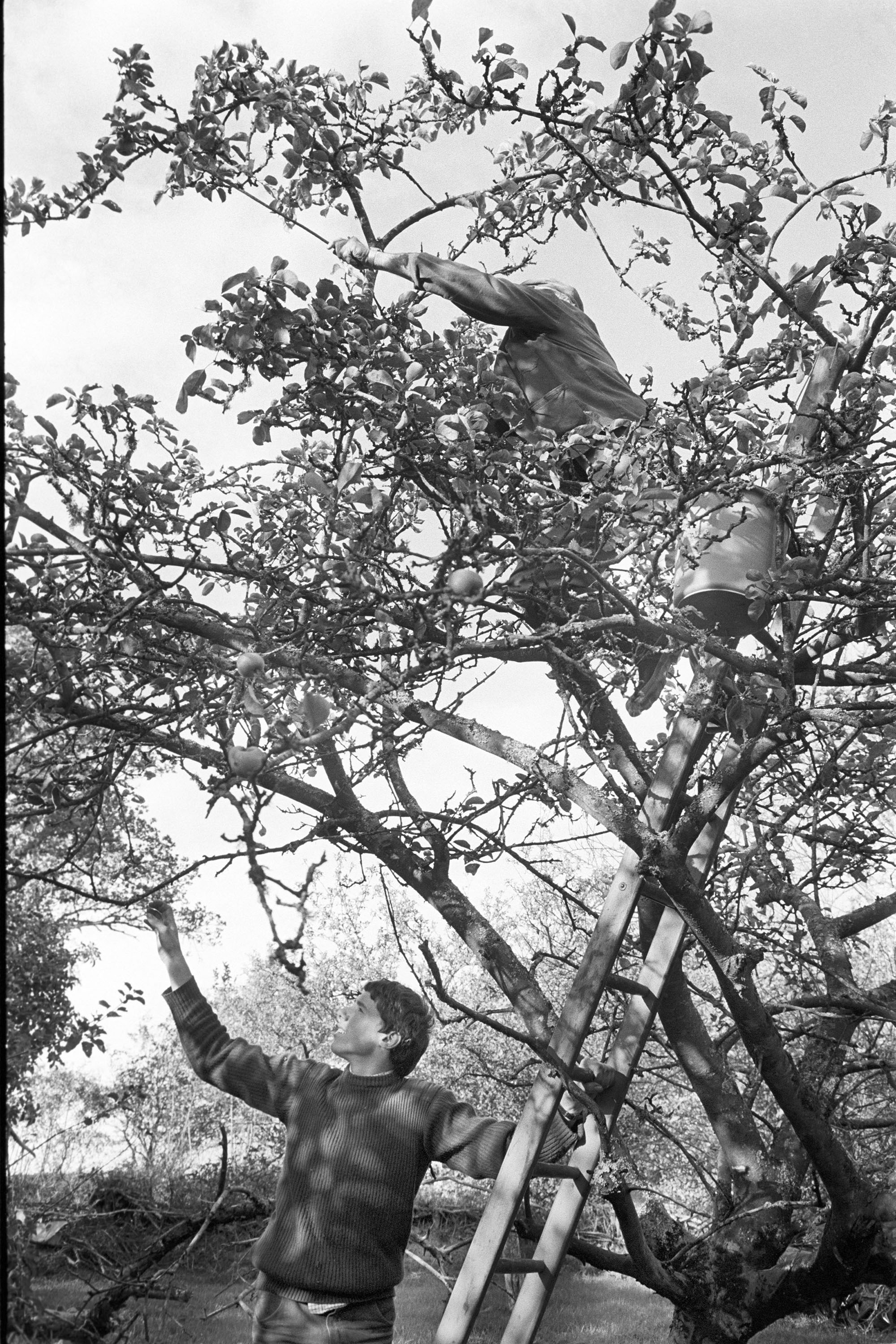 Farmers picking apples. <br /> [Alf Pugsley up a ladder picking apples at Lower Langham, Dolton. Another man is holding the ladder at the bottom of the tree.]