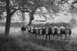 Bullocks in old orchard by James Ravilious