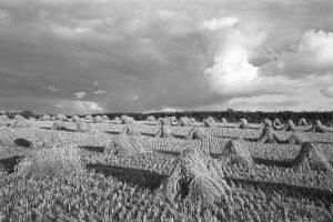 Corn stooks by James Ravilious