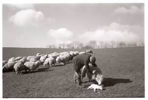 George Ayre making a ewe accept her lamb by James Ravilious
