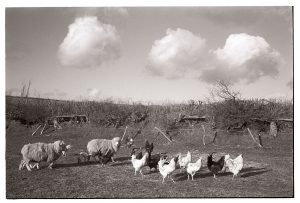 Sheep and chickens by James Ravilious
