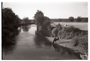 Cows drinking in the river by James Ravilious