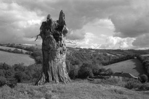 Beech stump at Spittle by James Ravilious