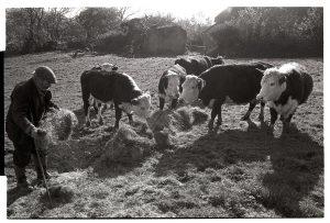 Reg Holland feeding bullocks by James Ravilious