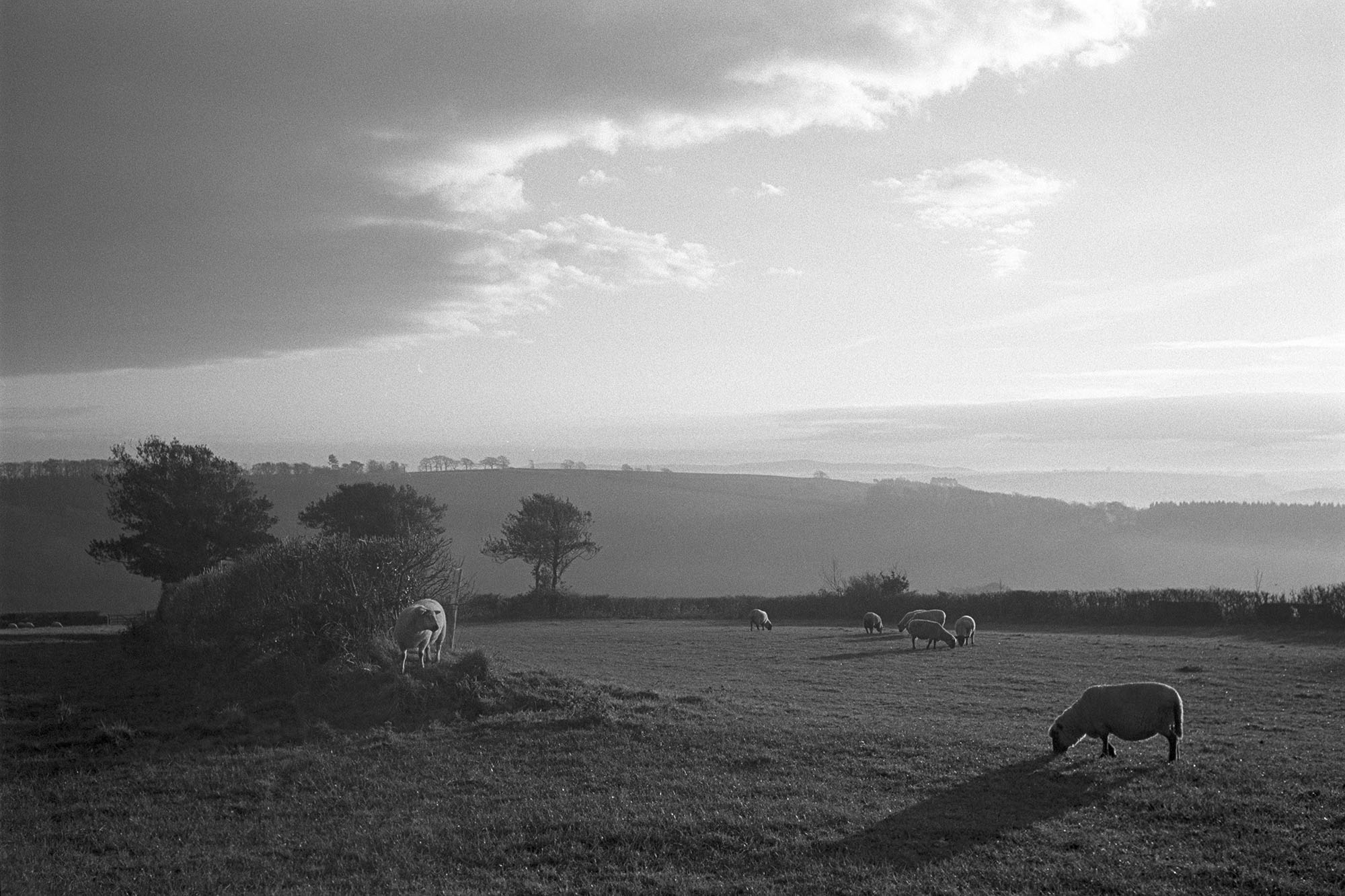 Morning landscape with sheep and cloud obscuring sun. <br /> [Sheep grazing in a field at Lakehead, Chulmleigh, in the morning. Clouds are in the sky above them, obscuring the sun. The background of fields and trees is hazy.]