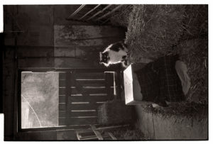 Stray cat in a barn above Chantry by James Ravilious