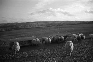 Sheep waiting to be fed by James Ravilious