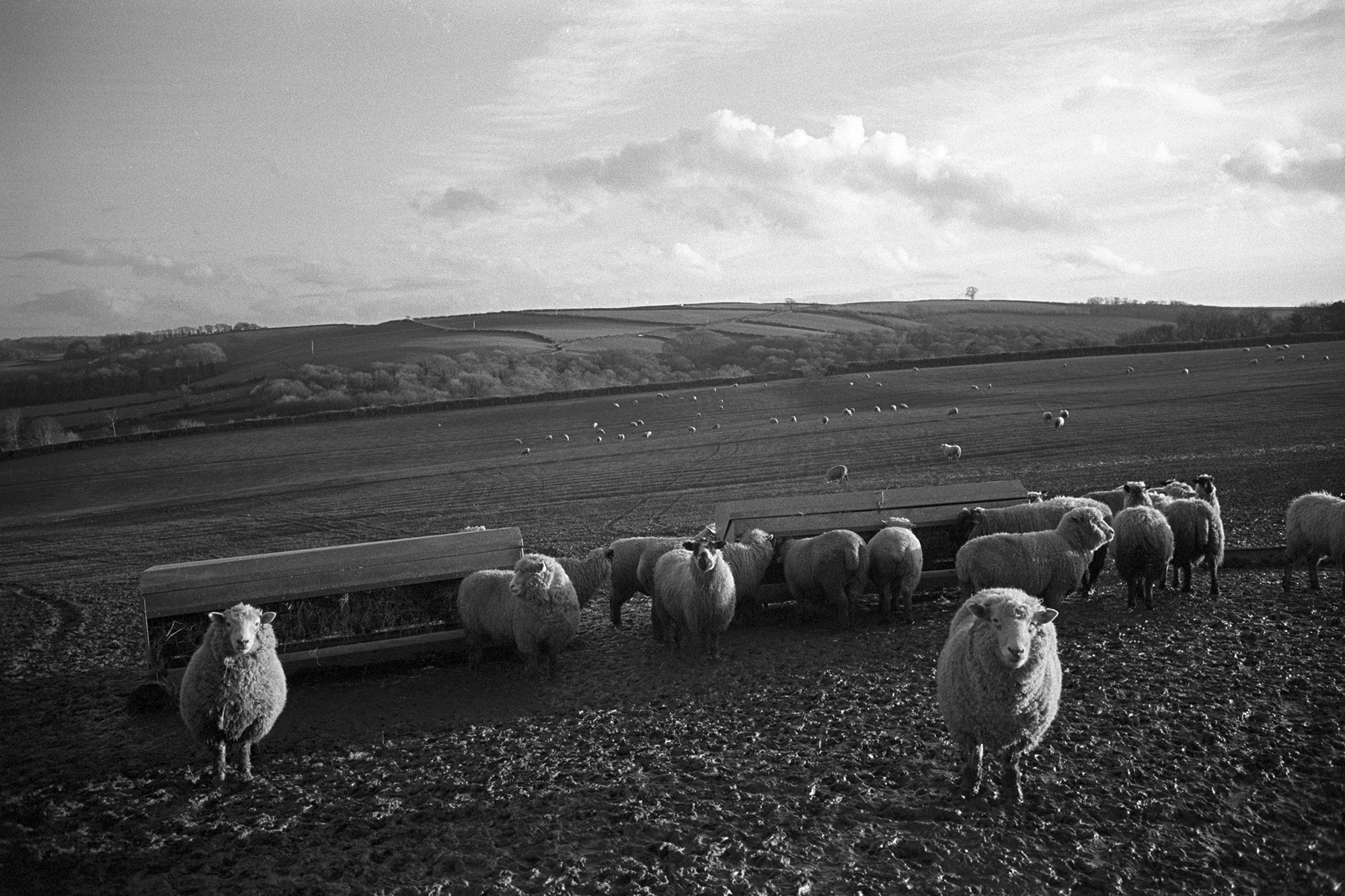 Sheep in muddy field, hoping to be fed. <br /> [A flock of sheep in a muddy field near Ashreigney. They are stood by two haystacks waiting to be fed.]