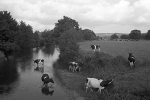 Cows cooling off in the river by James Ravilious