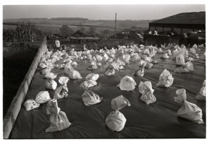 Polythene covered silage by James Ravilious