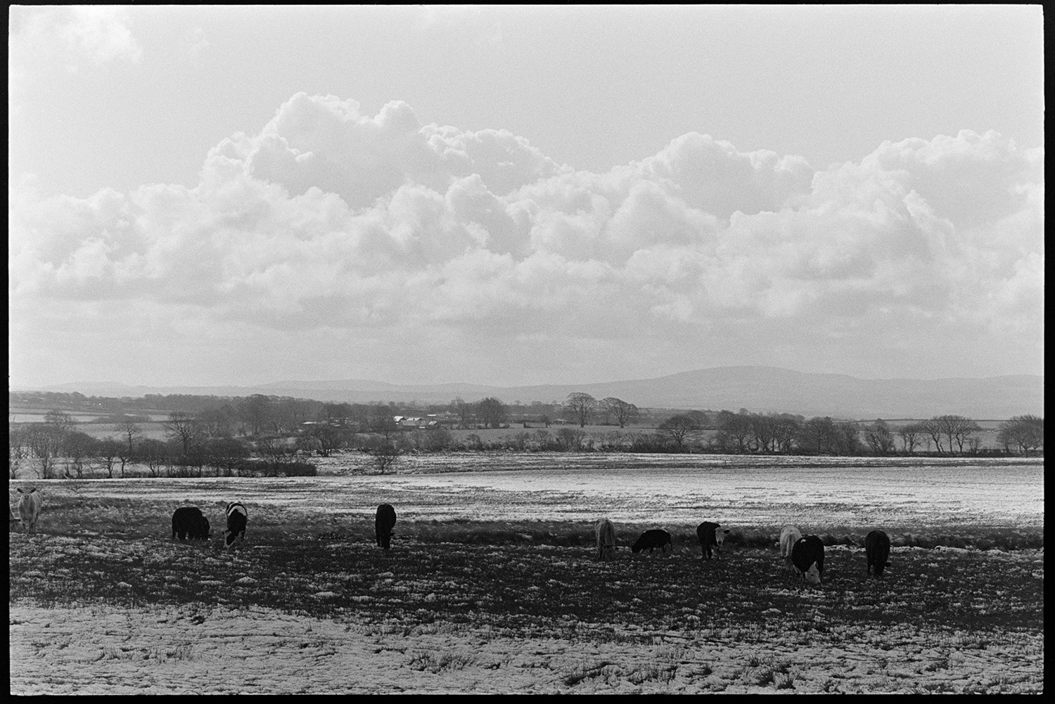 Snow, farmer feeding and counting sheep. <br /> [Cows grazing in a snow covered field at Parsonage Farm, Chulmleigh. A landscape of snow covered trees and fields can be seen in the background.]