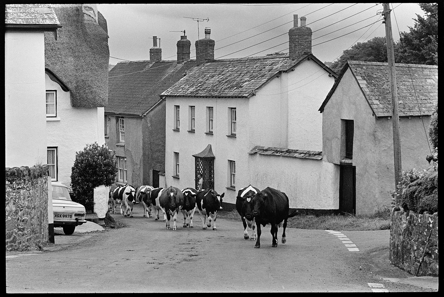 Milking herd of cows being driven through village behind tractor. <br /> [A dairy herd of cows being herded through a street in Exbourne. A person is watching them from their porch outside their house.]