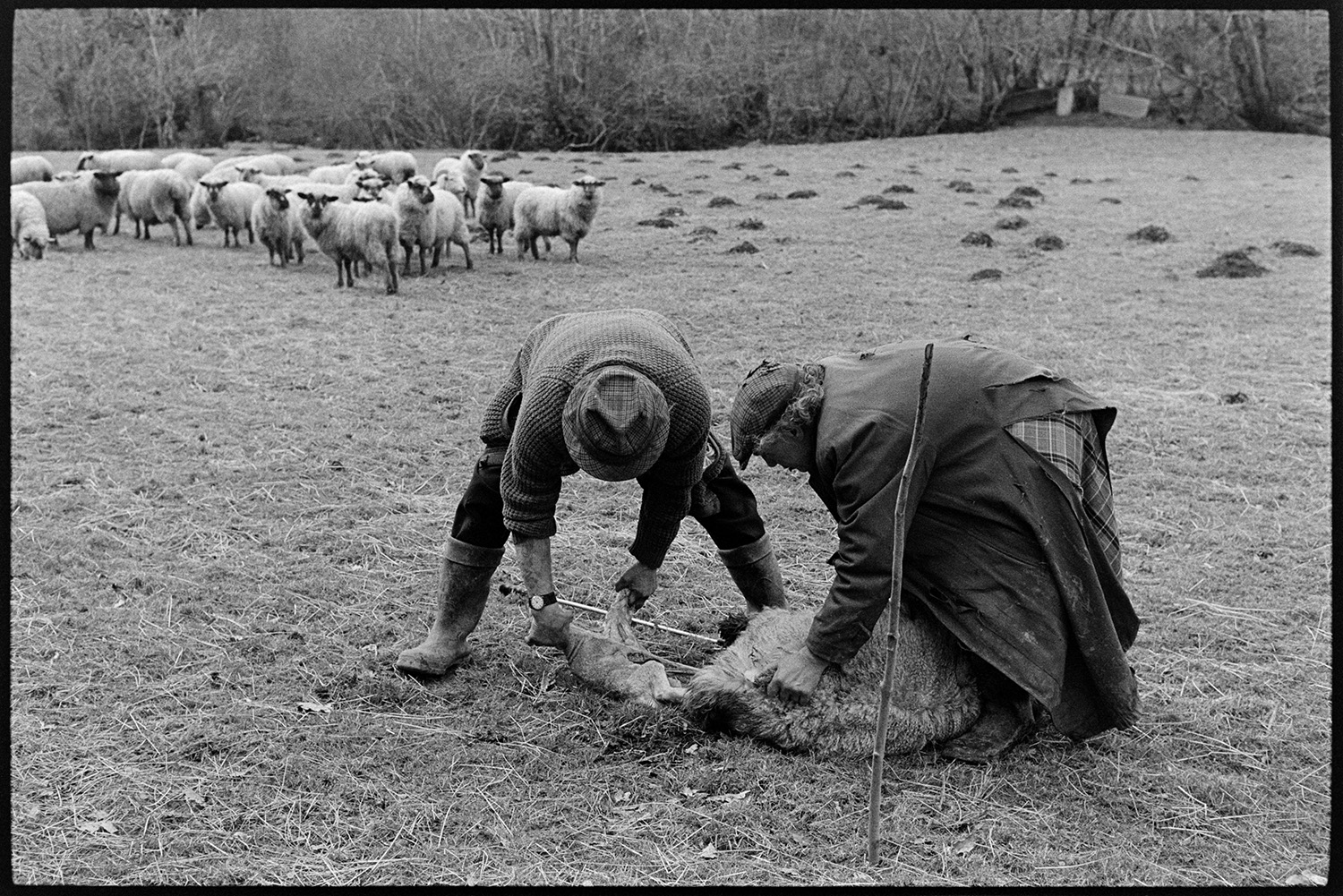 Two farmers delivering lamb, dog. <br /> [Archie Parkhouse and Ivor Brock helping a sheep to give birth to a lamb in a field at Addisford, Dolton. Sheep are watching in the background.]