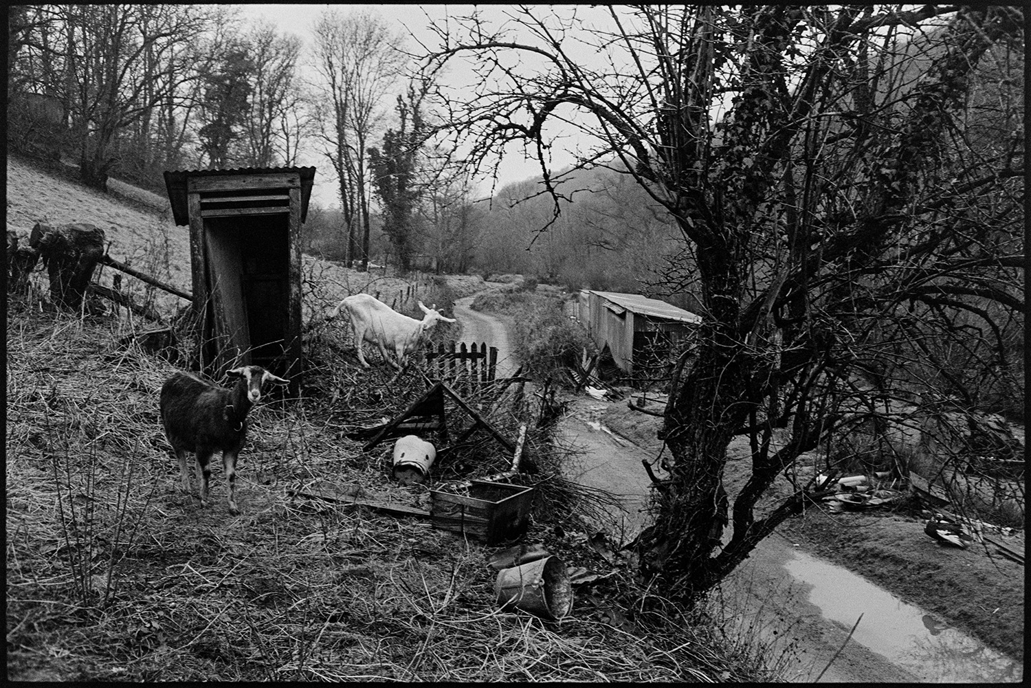 Outside toilet, lavatory with goats. <br /> [Two goats by an outside toilet at Millhams, Dolton. The toilet is wooden with a corrugated iron roof and is located on a bank by the side of a road.]
