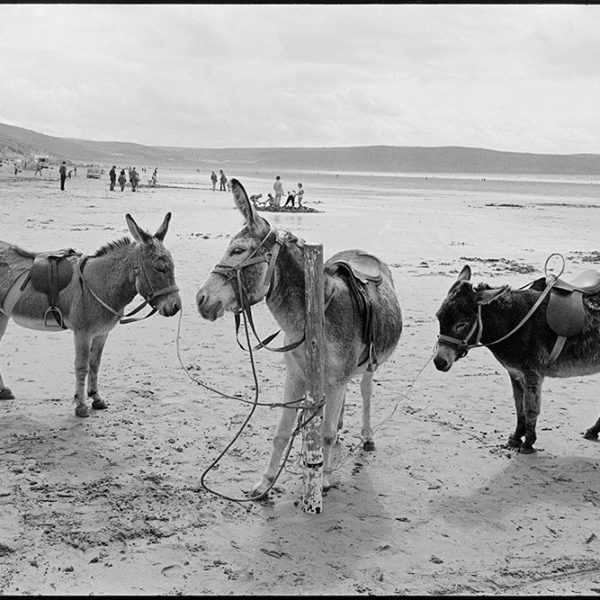 Donkeys tied to post on the beach, scratching neck, Woolacombe, August 1982. Documentary photograph by James Ravilious for the Beaford Archive © Beaford Arts