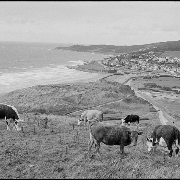 Seascape with bullocks grazing on hills above beach, Woolacombe, August 1982. Documentary photograph by James Ravilious for the Beaford Archive © Beaford Arts